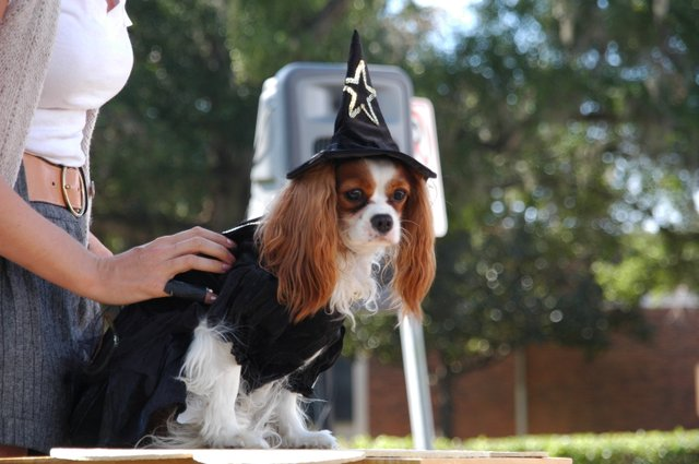 A Cavalier King Charles Spaniel plays a witch at the 2009 Pet Costume Contest, hosted by The Doggie Door, which the Parks Commission says violates an ordinance.