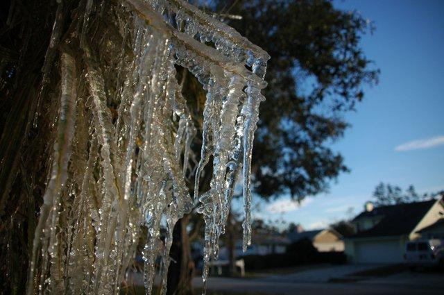 Ice from sprinkler systems formed easily this past week as record-low temperatures froze Central Florida for 10 days.