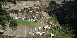 Golf courses employ goats for maintenance