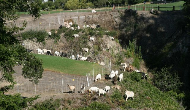 Goats wander the canyons at Pasatiempo.