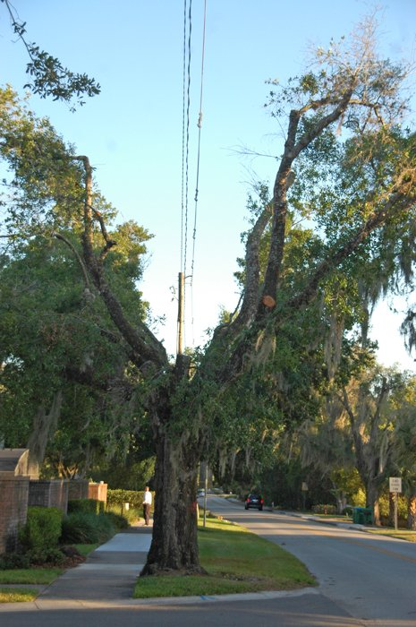 Some residents are up in arms about new tree trimming in Winter Park that leaves their canopies split in a deep V shape to clear power lines.
