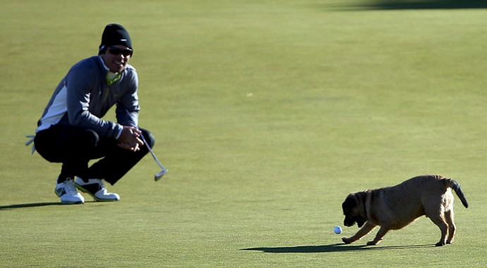 A dog finally releases the ball after running off with Paul Casey's ball in his mouth on the 12th green during the second round of The Alfred Dunhill Links Championship.