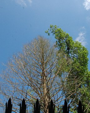 The Phoenix rises above Big Tree Park in Longwood, dedicated on March 2 in honor of the fallen tree, The Senator. The new tree was part of a project to clone the ancient bald cypress, estimated to have lived 3,500 years.