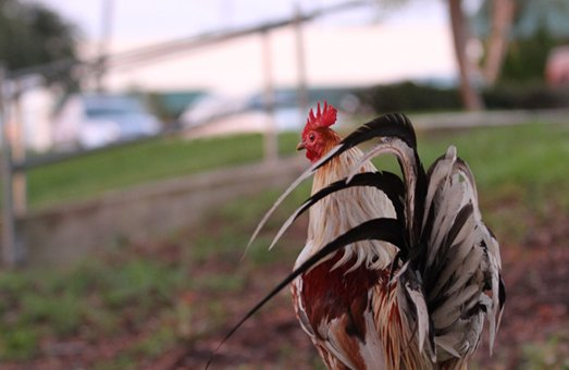 Maitland will hear the chickens' side at a meeting Monday to decide whether hens can live in residents' backyards.