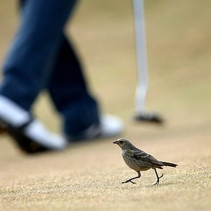 A bird lands on the 17th green at Chambers Bay as David Chung prepares to putt.