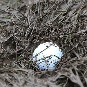Steve Stricker's ball finds a muddy lie on the 4th hole during the morning four-ball matches during the 2010 Ryder Cup at Celtic Manor.