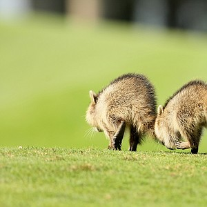 A group of raccoons at Isleworth Country Club.