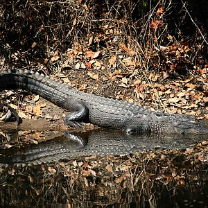 An alligator rests on the bank at No. 17.