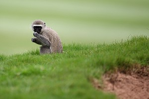 A monkey is seen next to the fairway bunker on the16th hole during round one of the South African Open Golf Championship at the Durban Country Club on December 17, 2010 in Durban, South Africa.