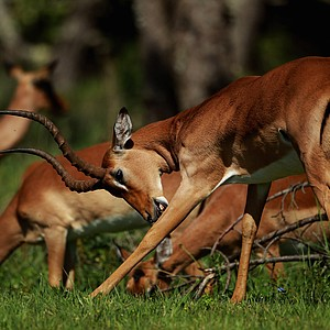 An impala is pictured during the first round of the Africa Open at East London GC on January 6, 2011 in East London, South Africa.