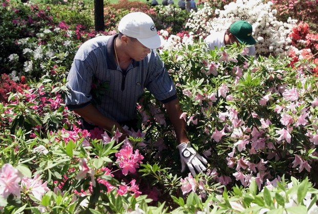 AUGUSTA, : Tiger Woods (L) of the US looks for his ball in the azalea bushes on the eighth hole with his caddie Steve Williams (R) 08 April 1999 during the first round of the Masters golf tournament at the Augusta National Golf Club in Augusta, Georgia. Woods' ball ricocheted off a tree into the bushes leading to a triple bogey on the hole.