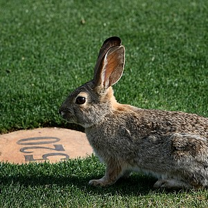 A rabbit sits near a yardage marker at the Wildfire Golf Club during a practice round for the RR Donnelley Founders Cup at JW Marriott Desert Ridge Resort & Spa.