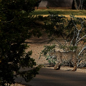 A bobcat near the second hole on at Wildfire Golf Club in Phoenix.