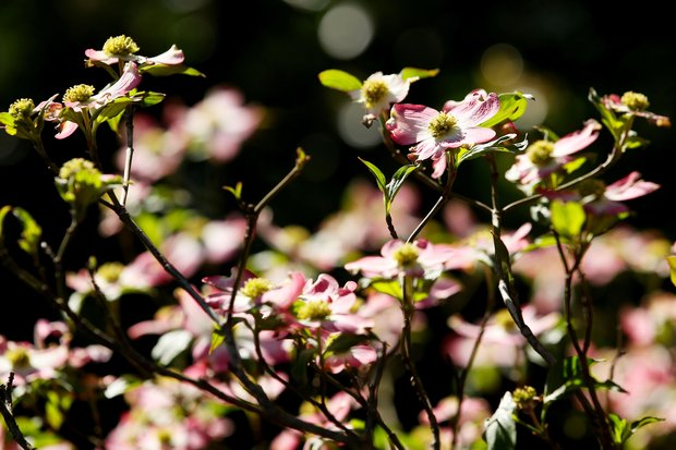 Dogwood blossoms are seen in during a practice round prior to the 2011 Masters Tournament at Augusta National Golf Club on April 4, 2011 in Augusta, Georgia.