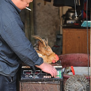 A chicken is weighed prior to being sold at the market.