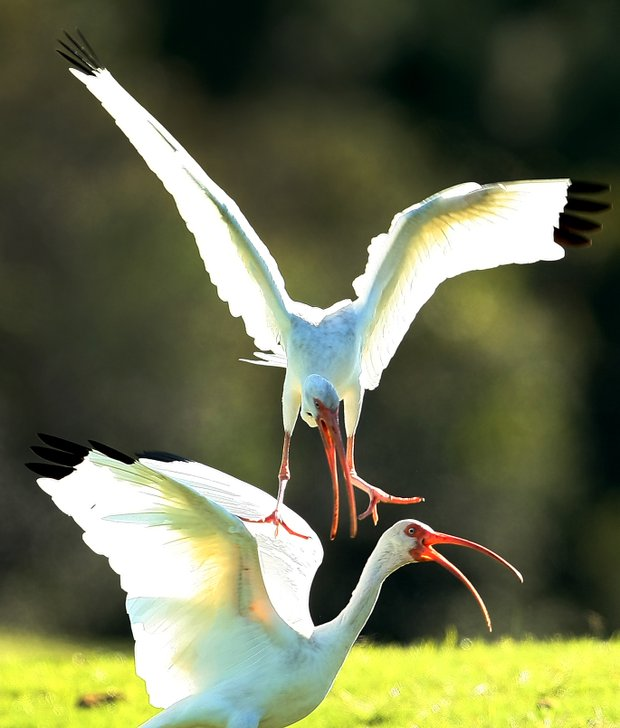 A pair of ibis battle it out near the 17th green as players fight a battle of their own to earn their LPGA card this week.