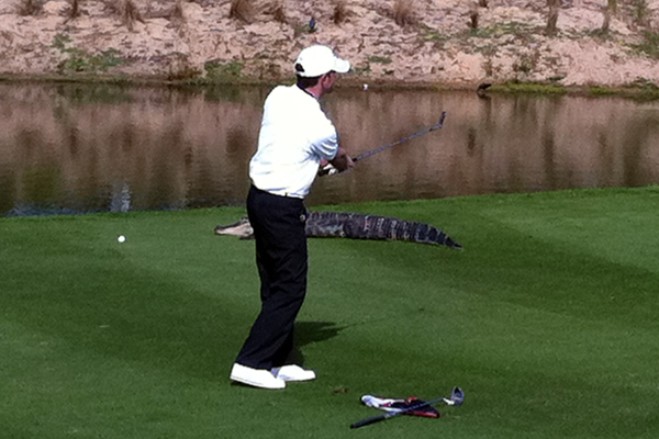 Playing the seventh hole of the International Course at ChampionsGate near Orlando, St. Louis radio host Ron Godier got the idea that he'd aim for the large gator that sat basking in the sun just short of the green.