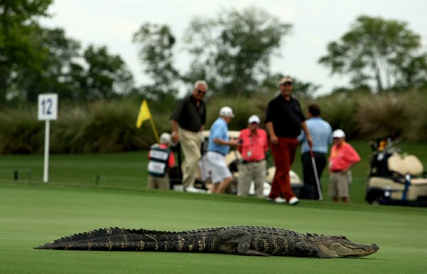 A large alligator slows down Roger Maltbie's pro-am group on No. 12 at the Southern Company Pro-Am on Wednesday at the Champions Tour Event - Liberty Mutual Insturance Legends of Golf at Westin Savannah Harbor Golf Resort and Spa.