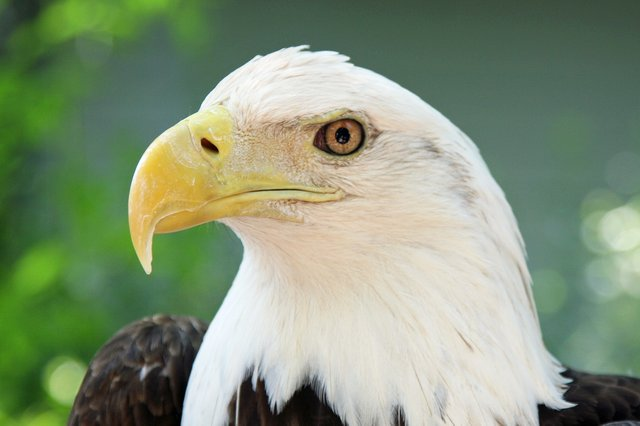Paige the Bald Eagle also serves as an ambassador at the Audubon Center for Birds of Prey in Maitland.
