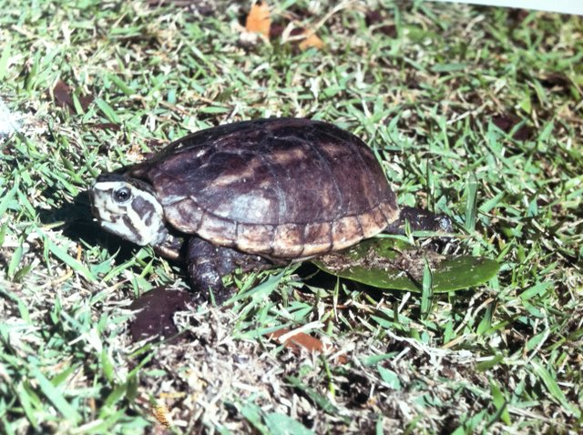 "The ""Turtle Lady,"" Carol Bachicha has been walking her three turtles through Central Park for two years. On Sept. 9, her youngest pet, Randal the Rascal, went missing in Central Park. HE WAS FOUND ON OCT. 13."
