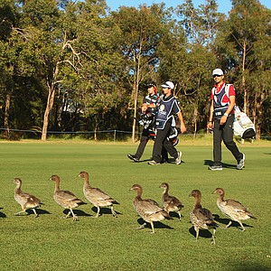 PERTH, AUSTRALIA - OCTOBER 19: Aaron Townsend of New South Wales and Josh Geary of New Zealand walk past a line of ducks on the 3rd hole during day two of the Perth International at Lake Karrinyup Country Club on October 19, 2012 in Perth, Australia.