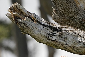 Rory McIlroy of Northern Ireland finds his ball lodged in a tree on the third hole during the third round of the PGA Championship golf tournament on the Ocean Course of the Kiawah Island Golf Resort in Kiawah Island, S.C., Saturday, Aug. 11, 2012.