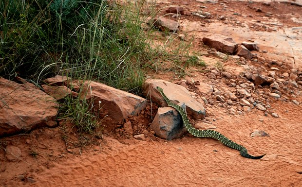 A black-tailed rattle snake crosses the jeep path during a Pink Jeep Tour through the Red Rocks of Sedona, AZ.
