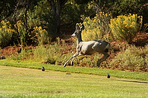 A deer runs across a tee box at Seven Canyons in Sedona, AZ.