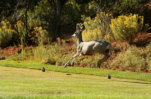 A deer runs across a tee box at Seven Canyons in Sedona, AZ.