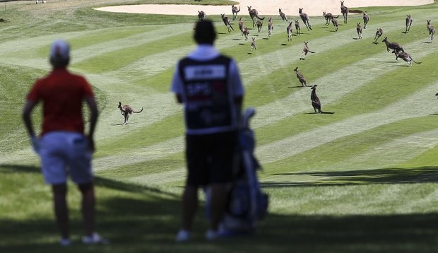 Karrie Webb waits for the kangaroos to clear the fairway during day one of the ISPS Handa Australian Open at Royal Canberra Golf Club.