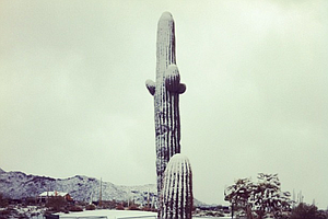 Cacti covered in snow.