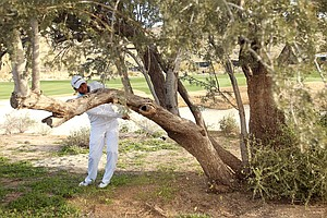 Jason Day hits his second shot from behind a tree on the seventh hole during the semifinal round of the WGC-Accenture Match Play Championship.