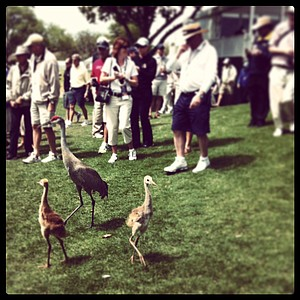 Baby sandhill cranes wander around No. 9 during Round 1.
