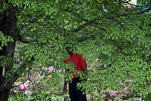 Tiger Woods looks out from behind a tree before hitting out of the rough off the second fairway during the fourth round of the Masters.