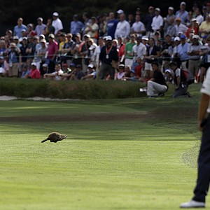 Steve Stricker watches a groundhog scamper during the second round of the 2013 U.S. Open at Merion Golf Club.