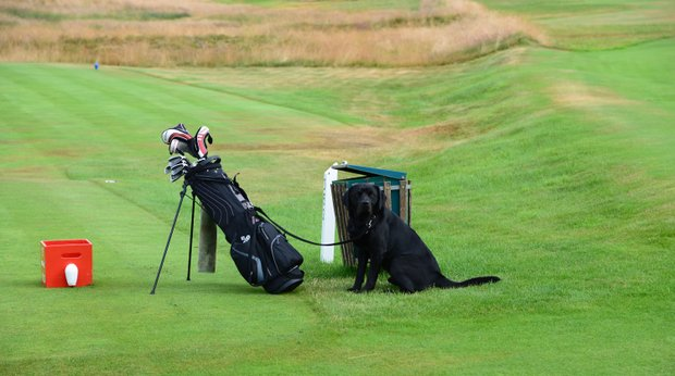 A common sight in the UK: A dog on the golf course waits for his master to tee off.