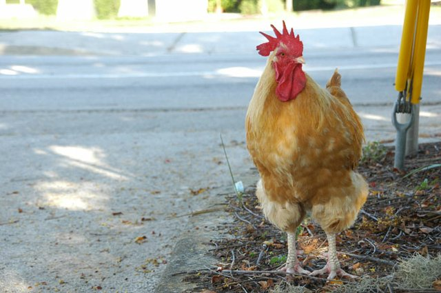 The chickens of Oviedo seem to have gone missing. Fire Chief Lars White is on the case.