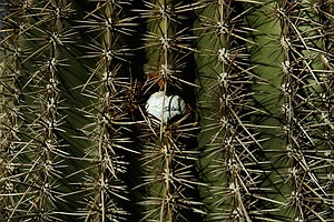 A ball is found wedged into a cactus during the final round of the PGA Tour's 2014 Phoenix Open at TPC Scottsdale.
