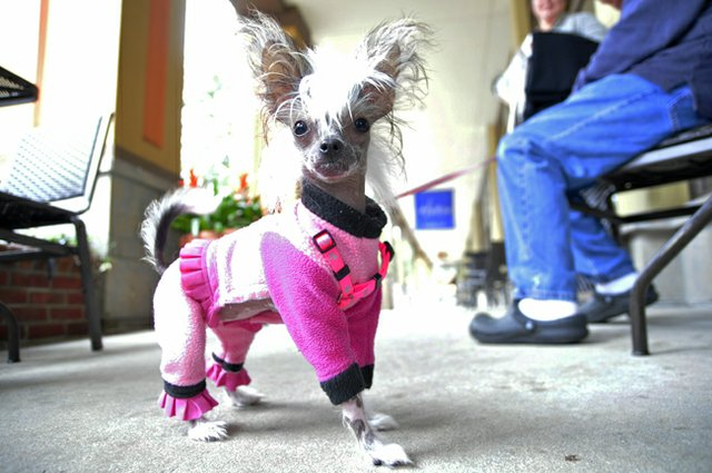 Mini spent many of her first few months in the running for the title of world's smallest dog. Now she's topped out at a whopping 3 pounds.