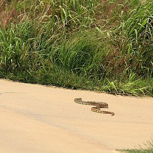 A snake makes his way across the path near the first tee on Monday of the NCAA Men's Division 1 Championship at Prairie Dunes Country Club in Hutchinson, Kan.
