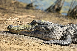 A gator rests near the cart path on the International course during the Golfweek International Junior Invitational at ChampionsGate.