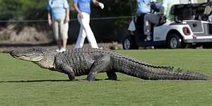 Alligator interrupts play at Valspar Championship