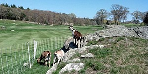 For some golf courses, goats serve as valuable members of maintenance staff